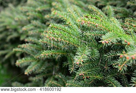 Close Up Of Young Spruce Tree Branches. Shallow Depth Of Field, Focused On Foreground.