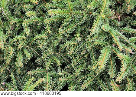 Background Of Green Spruce Tree Branches. Full Frame Spruce Tree Background. Spruce Natural Texture