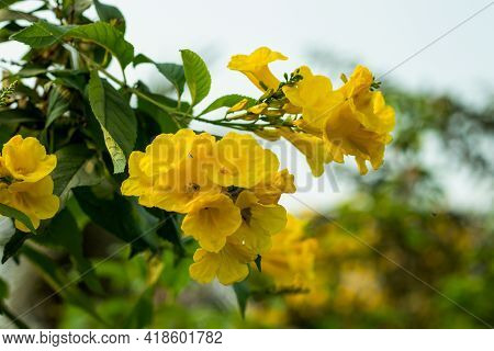 Angel's Trumpet Yellow Flower, Also Known As Trumpet Flower Or The Horn Of Plenty, Is A Tropical Nat