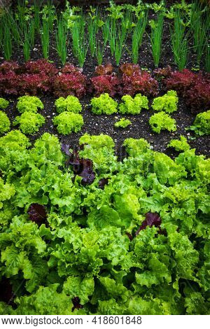 Vegetable garden with variety of vegetables growing in soil - green and red lettuces, green onions, and others.