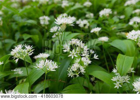 Wild garlic Allium ursinum in temperate forest