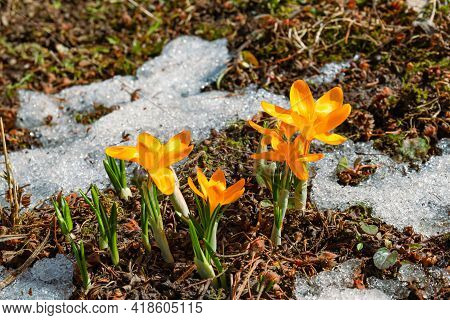Yellow Crocuses Of Ankara - A Perennial Corm Herbaceous Plant, A Species Of The Genus Saffron Of The