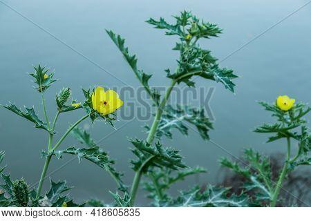 Bermuda Thistle, Bird-in-the-bush, Brahmadanti, Cardo Santo, Caruancho, Chadron, Flowering Thistle,
