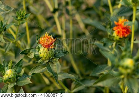 Natural Yellow Red Green Color Plants Safflower Flower Also Is A Oil Seed And So Many Names Called D
