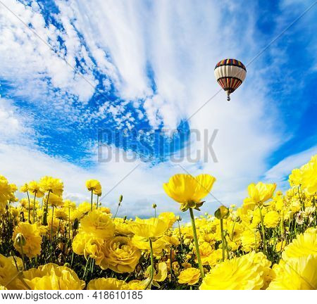 Yellow garden buttercups in a kibbutz field. Huge multicolored hot air balloon flies over a field of flowers. Israel. Wonderful trip for spring beauty. Light cirrus clouds fly in the blue sky