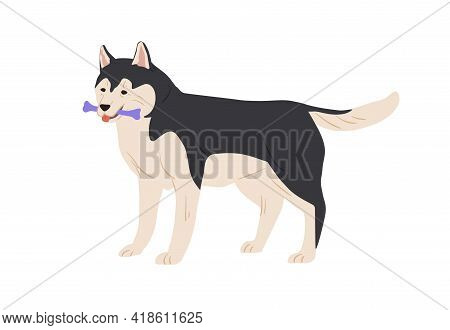 Australian Malamute Dog Standing And Holding Toy Bone In Mouth. Purebred Doggy Playing. Colored Flat