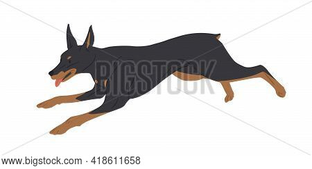 Doberman Pinscher Dog Running With Tongue Hanging Out. Strong Muscular Dobie Rushing Or Chasing Smb.