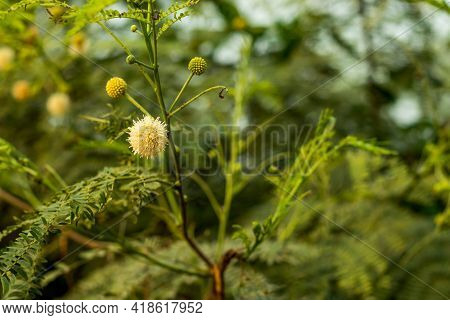 The Leucaena Leucocephala Or Commonly Known As Leucaena, Leaf Tree, Or White Tamarind Is A Fast-grow