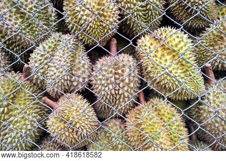 Durian Fruit Behind Of The Wire Fence.