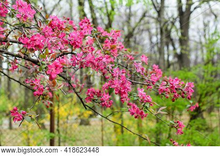 Branch With Many Vivid Decorative Red Crab Apple Flowers And Blooms In A Tree In Full Bloom In A Gar