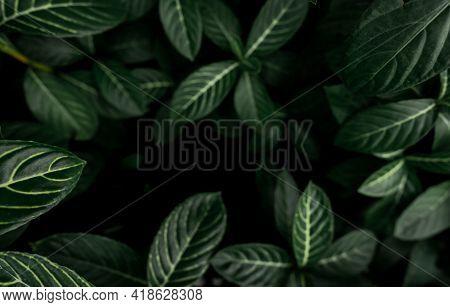 Green Leaves Texture Background. Dense Dark Green Leaves In Jungle. Nature Abstract Background. Plan