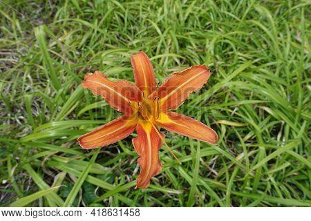 Single Orange Flower Of Tawny Daylily In Mid July