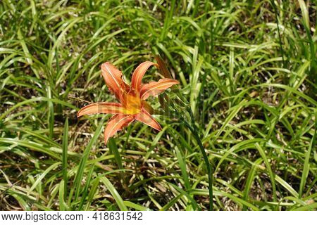 Tawny Daylily With Buds And One Orange Flower In July