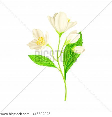 White Fragrant Flowers Of Jasmine Plant Specie Sprig With Pinnate Leaves Closeup Vector Illustration