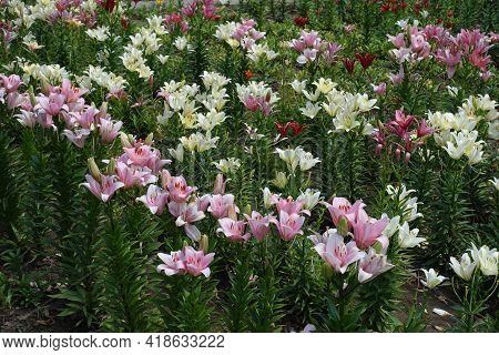 Florescence Of Pink, Red And White Lilies In June