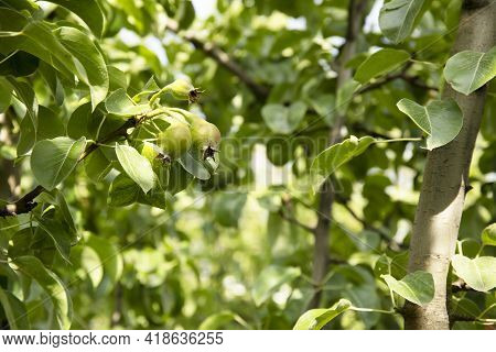 Young Pears On The Tree In The Fruit Garden