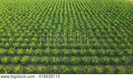 Agriculture. Rows Of Trees Grow. Orchard. The Aerial View On Orchard Of Trees.