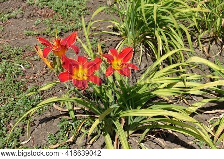 Three Bright Red And Yellow Flowers Of Daylily In June