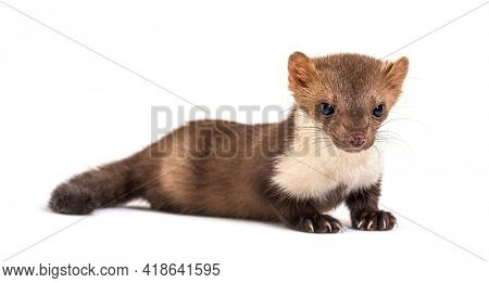 Beech marten looking down, isolated on white