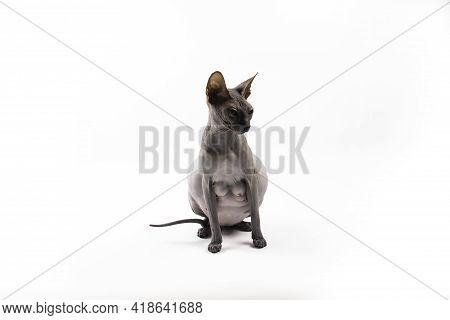 Sphynx Pregnant Cat. Beautiful Gray Hairless Sphynx Cat Sit