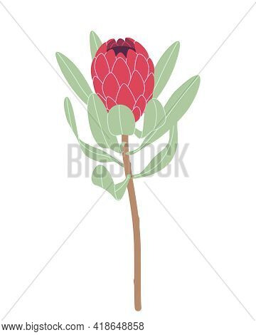 Simple Red Protea Isolated On White Background. Big Flower Head And Green Leaves On High Stem. Botan