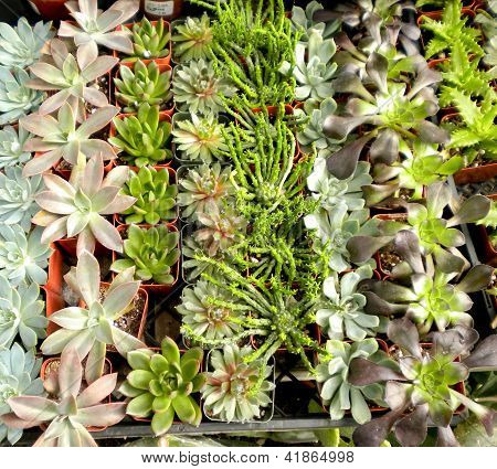Succulents Or Cacti