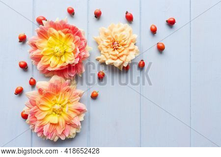 Flat Lay Composition With Beautiful Dahlia Flowers And Red Rose Hips On Blue Wooden Background.