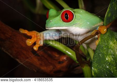 Red Eyed Tree Frog Carefully Watching The Environment Between The Plants Leafs