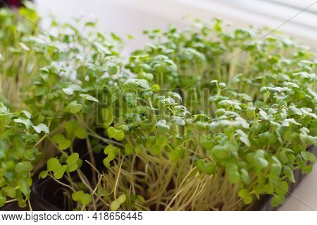 Young Cress Sprouts On The Windowsill In A Container Of Water In The Kitchen At Home In The Spring