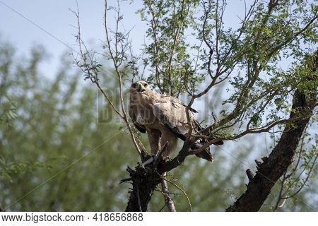 Aggressive Tawny Eagle Or Aquila Rapax Feasting On Spiny Tailed Lizard Or Uromastyx Kill In His Claw