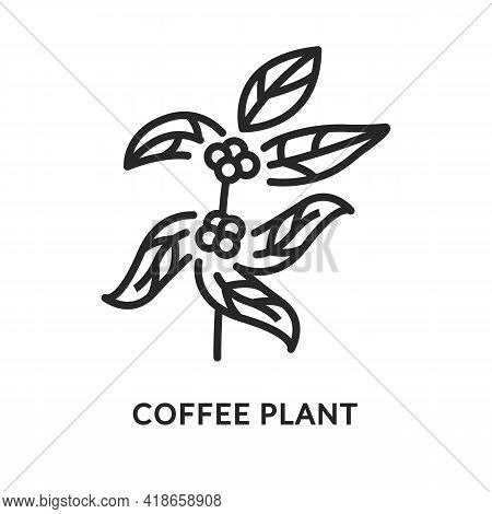 Branch Of Coffee Tree Flat Line Icon. Vector Illustration Coffee Plant.