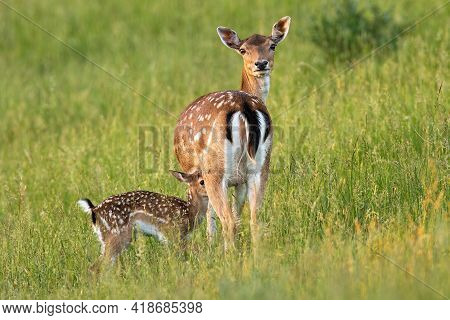 Fallow Deer With Fawn Standing On Meadow In Summer Nature