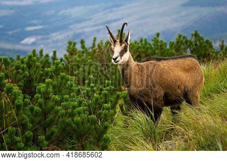 Tatra Chamois Standing On Green Mountains In Summer