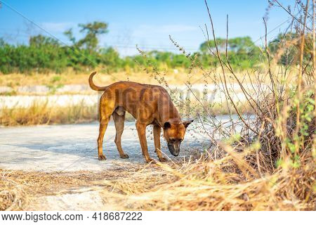 Thai Brown Dog Smells And Observes Ground Before Peeping And Making Up The Territory This Area.