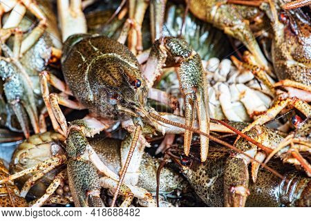 Plenty Of Fresh Crayfish. Raw Crayfish Are Plentiful.