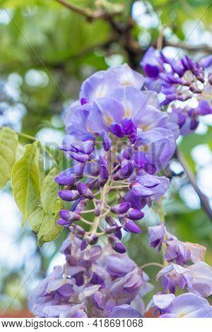 Closeup Of A Beautiful Cascade Of Wisteria Flowers