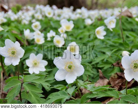 Wild White Anemones Flowering On Forest Floor In Early Spring, Close Up