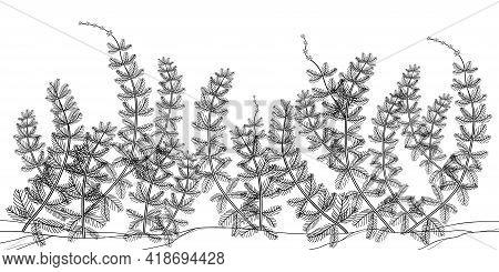 Vector Underwater Landscape With Outline Myriophyllum Spicatum Or Eurasian Water Milfoil Plant In Bl