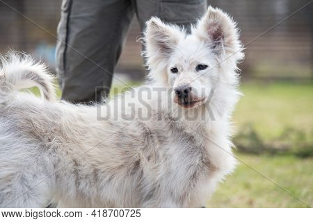 Alopecia Disease Samoyed Dog. Dermatitis And Itching Of Dogs