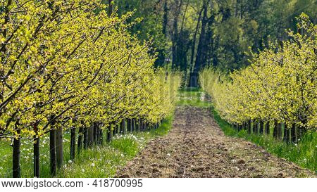 Row Of Trees With Dandelion In Spring. Fresh Green Background. Agriculture Field.