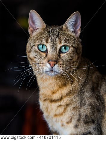 Portrait Of A Bengal Cat With Amazing Green Eyes, Close Up