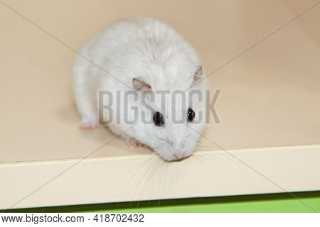 Small White Hamster Close Up On Light Surface. Hamster Smelling. Pet Living At Home. Amusing Animals