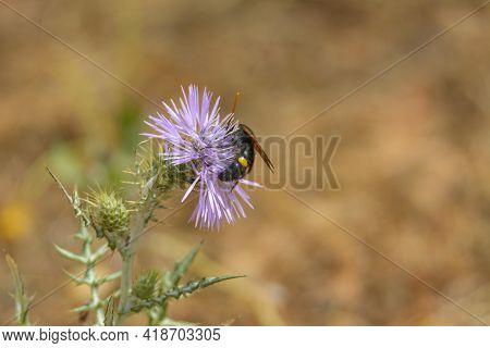 Wasp, Bee (scolia Hirta) Feeding On Wild Thistle Flower