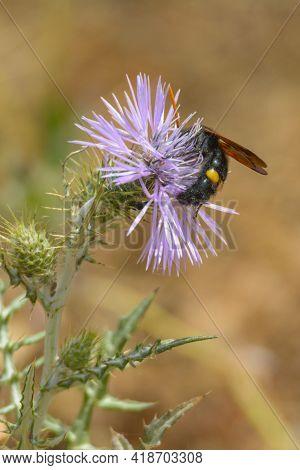 Wasp, Giant Black Bee (scolia Hirta) Feeding On Flower Of A Purple Wild Thistle