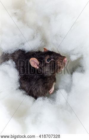 Angelic Pet Fancy Berkshire Black Rat Playing In The Heavenly Clouds