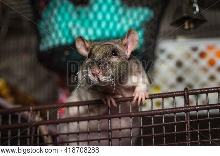 Friendly Double-rex Patchwork Hairless Pet Rat Exploring Cage