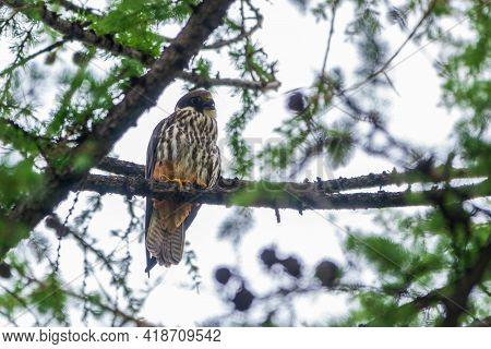 Eurasian Hobby, Falco Subbuteo, Sitting On Top Of Larch Tree. Cute Majestic Falcon Bird Of Prey In W