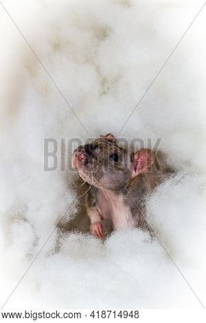 Angelic Pet Fancy Double-rex Patchwork Rat Playing In The Heavenly Clouds