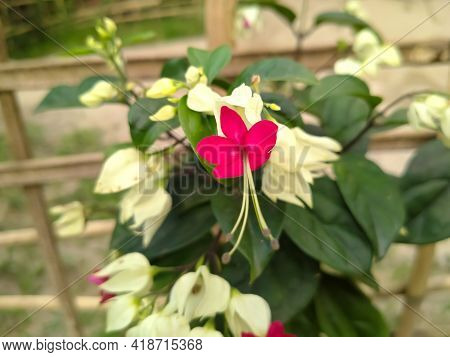 Bleeding Heart Glorybower Flower Garden Background Sunset Texture