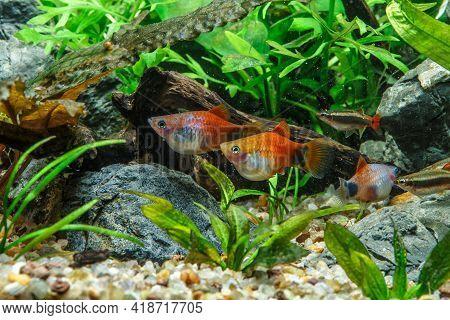 A Green Beautiful Planted Tropical Freshwater Aquarium With Fishes.freshwater Aquarium Fish, The Sai